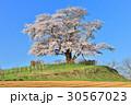 為内 一本桜 桜の写真 30567023