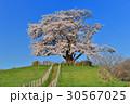 為内 一本桜 桜の写真 30567025