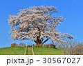 為内 一本桜 桜の写真 30567027