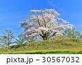 為内 一本桜 桜の写真 30567032