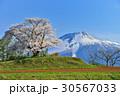 為内 一本桜 桜の写真 30567033