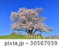 為内 一本桜 桜の写真 30567039