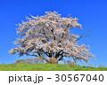 為内 一本桜 桜の写真 30567040