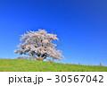 為内 一本桜 桜の写真 30567042