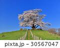 為内 一本桜 桜の写真 30567047