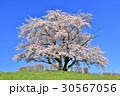 為内 一本桜 桜の写真 30567056