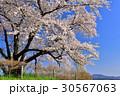 為内 一本桜 桜の写真 30567063