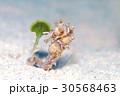 タツノオトシゴ 慶良間の海 30568463