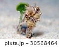 タツノオトシゴ 水中 動物の写真 30568464