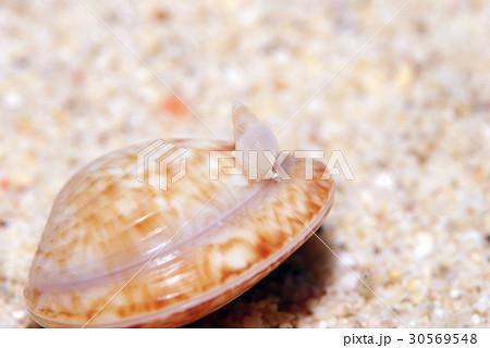 貝の上の巻貝  ニライカナイゴウナ 30569548