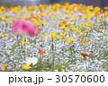 ポピー畑 ポピー 花の写真 30570600