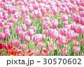 ピンクのチューリップ畑 30570602