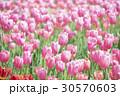 ピンクのチューリップ畑 30570603