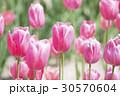 チューリップ チューリップ畑 花の写真 30570604