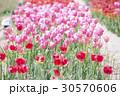 赤とピンクのチューリップ畑 30570606