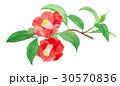 ツバキ 花 赤のイラスト 30570836