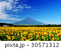 富士山 ひまわり畑 ひまわりの写真 30571312