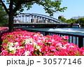 大川沿いの躑躅 30577146
