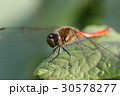赤とんぼ 昆虫 虫の写真 30578277
