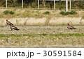 トビ 鷲 畑 仲間 ハンター ワシタカ 猛禽 30591584