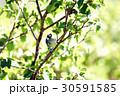 ヒガラ 日雀 Periparus ater Linnaeus 野鳥 小鳥 ハンノキ  30591585