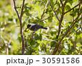 ヒガラ 日雀 Periparus ater Linnaeus 野鳥 小鳥 ハンノキ  30591586