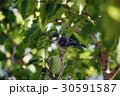 ヒガラ 日雀 Periparus ater Linnaeus 野鳥 小鳥 ハンノキ  30591587