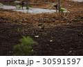 雲雀 ヒバリ ひばり 鳥 小鳥 野鳥 鳥類 生き物 畑 ネギ 季節 土 花 褐色 茶色 30591597