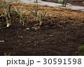 雲雀 ヒバリ ひばり 鳥 小鳥 野鳥 鳥類 生き物 畑 ネギ 季節 土 花 褐色 茶色 30591598