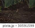 雲雀 ヒバリ ひばり 鳥 小鳥 野鳥 鳥類 生き物 畑 ネギ 季節 土 花 褐色 茶色 30591599