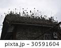 屋根の植物 屋根 古民家 沖縄 那覇 南国 育つ 30591604