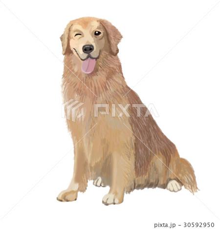 犬 ゴールデンレトリバー おすわり ウインクのイラスト素材 30592950