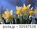 水仙(ラッパスイセン) 30597536