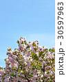 ヤエザクラ 八重桜 桜の写真 30597963