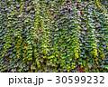 壁 葉 蔦の写真 30599232