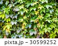 壁 葉 蔦の写真 30599252