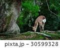 早朝の鹿 30599328