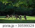 早朝の鹿 30599329