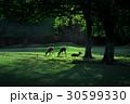早朝の鹿 30599330