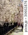 角館武家屋敷に咲き誇る枝垂桜 30602876