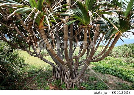 自然 植物 タコノキ、実は小笠原の固有種だそうです。沖縄でも移植されたものが公園などで見られます 30612638