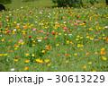 花 ポピー ポピー畑の写真 30613229
