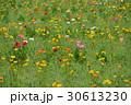 植物 花 ポピーの写真 30613230