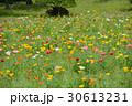 花 ポピー ポピー畑の写真 30613231