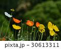 植物 花 ポピーの写真 30613311