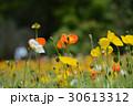 植物 花 ポピーの写真 30613312
