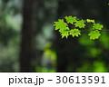 新緑 30613591