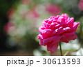バラ 30613593