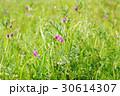 植物 野草 花の写真 30614307