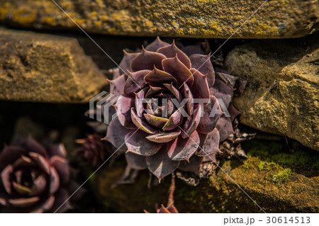 Succulent plants in the garden in the soft light 30614513